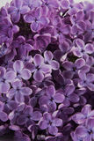 Purple lilac flowers on a white background Royalty Free Stock Photo