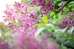 Purple lilac in the garden Royalty Free Stock Images