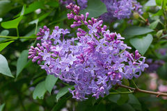 Purple lilac on the garden Stock Image