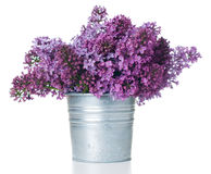 Purple lilac isolated Royalty Free Stock Photo