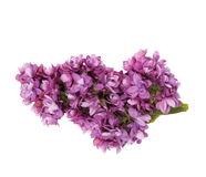 Purple lilac isolated on white Stock Photos