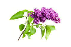 Purple lilac isolated on white background. Spring flower, twig purple lilac isolated on white background. Syringa vulgaris Stock Photography