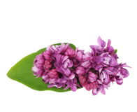 Purple lilac isolated on white Royalty Free Stock Photo
