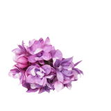 Purple lilac isolated on white Stock Photo
