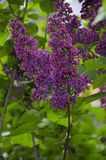 Purple lilac Royalty Free Stock Images