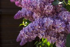 Purple lilac royalty free stock image