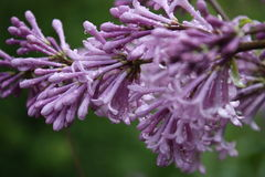 Purple lilac after rain. A branch of beautiful purple lilac after rain Stock Image