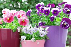 Purple lilac red pansies pots balcony Stock Photos