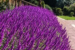 Free Purple Lilac Salvia Flowers Mass Planting In Garden With Paved Pathway, Stairway, Trees Stock Photography - 173660872