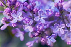 Purple Lilac spring bloom macro. Photography with selective focus Stock Image
