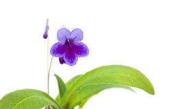 Purple-lilac Streptocarpus Stock Photo