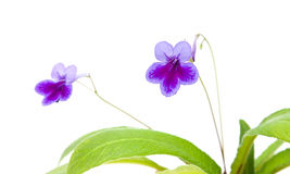 Purple-lilac Streptocarpus Stock Photo