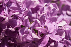 Purple lilac (Syringa) Royalty Free Stock Photos