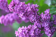 Purple lilac. Texture background with copy space Royalty Free Stock Image