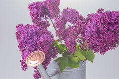 Purple lilac with tin watering can Stock Photo