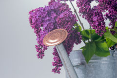 Purple lilac with tin watering can Royalty Free Stock Photography