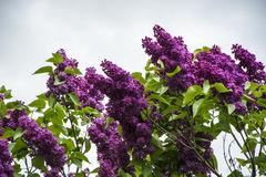 Purple Lilac Tree Stock Photography