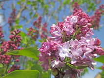 Purple lilac tree flowering. Lilac tree flowering in macro Royalty Free Stock Photos
