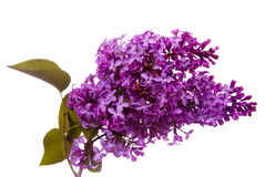 Purple lilacs. Beautiful spring blooms of lilacs isolated on white Royalty Free Stock Image