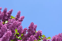 Purple lilacs against bright blue sky Stock Photos