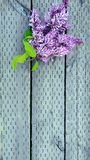 Purple Lilacs. Aromas and memories of summertime Stock Photo