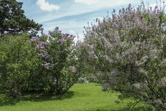 Purple lilacs blooming in the spring. Rows of lilacs along a grass path in the park in full bloom. Blue sky with clouds in the background. Rochester, New York royalty free stock photos