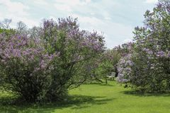 Purple lilacs blooming in the spring sunshine. Rows of lilacs along a grass path in the park in full bloom. Blue sky with clouds in the background. Rochester stock image