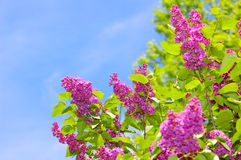 Purple Lilacs and Blue Sky stock photography