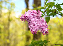 Purple Lilacs Royalty Free Stock Images
