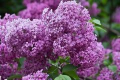 Purple lilacs Royalty Free Stock Photo