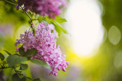 Purple lilacs in the lilac garden Royalty Free Stock Images
