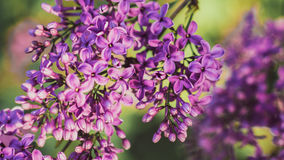 Purple lilacs in the lilac garden. Purple blooming lilacs branch in the lilac garden Royalty Free Stock Image