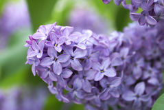 Purple Liliacs Macro. A macro of purple lilacs in the spring royalty free stock photos