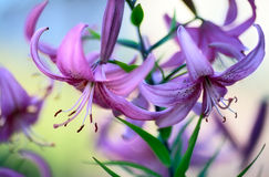 Purple Lilies. Beautiful purple lilies in garden, close up Royalty Free Stock Photography