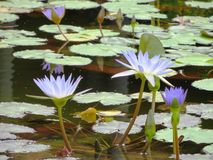 Purple lilies on the pond water green leaves Royalty Free Stock Photo