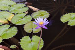 Purple lilly flower on a pond. Purple lilly flower on a isolated on a pond Royalty Free Stock Photo