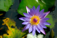 Purple Lily. Top view of a blooming purple water lily in a pond Royalty Free Stock Photography