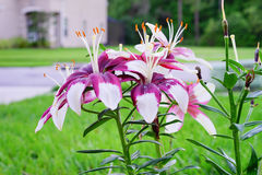 Purple Lily Royalty Free Stock Images