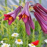 Purple lily, daisies and poppy royalty free stock photos