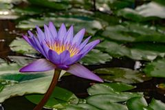 Purple lily flower in bora bora Stock Photo