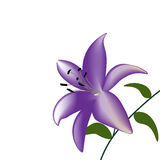 Purple lily flower on a white background. Vector illustration Royalty Free Stock Image