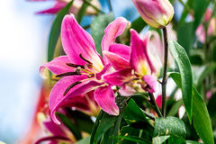 Purple Lily flowers. With yblue sky background Royalty Free Stock Image