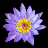 A purple lily isolated on a black background Stock Images