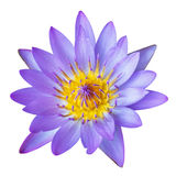 A purple lily isolated on a white background Royalty Free Stock Photography