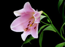Free Purple Lily On Black Royalty Free Stock Photo - 12825425