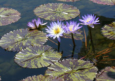 Purple lily pad flowers poking their heads above the maoron and green varigated leaves. Purple with yellow center lily flowers above the maroon and green lily royalty free stock photos