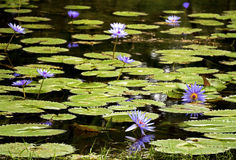 Purple lily pads and flowers in a garden pond Stock Images