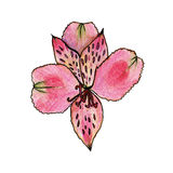 Purple lily watercolor flower. Illustration Stock Images