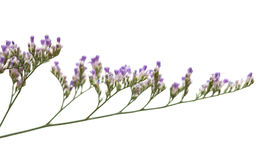 Purple limonium Stock Photos