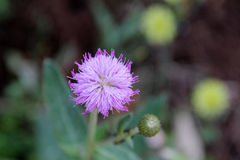 Purple little iron weed flower Stock Image